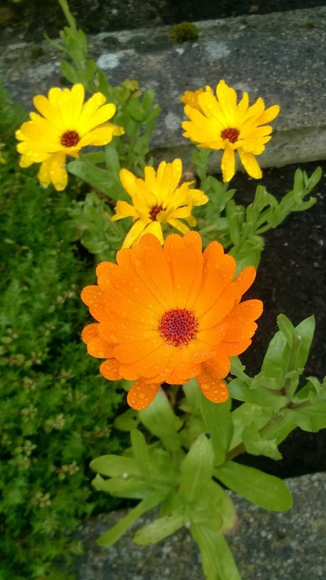 marigolds1