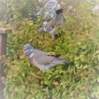 3 wood pigeon (2)